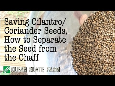 How to Save Cilantro Seeds and Separate the Chaff