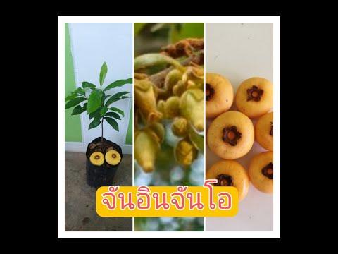 ต้นจัน ลูกจัน จันอินจันโอ อินจัน ผลไม้โบราณน่าอนุรักษ์ วรากรสมุนไพร โทร 0616498997 ไอดีไลน์ herbsddd