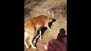 Bambi, il daino nelle campagne di Manduria