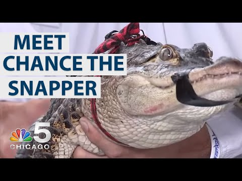 Meet 'Chance the Snapper' Alligator Caught in Chicago Lagoon | NBC Chicago