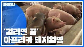 걸리면 끝...아시아 전역으로 확산 중인 아프리카 돼지열병 / YTN