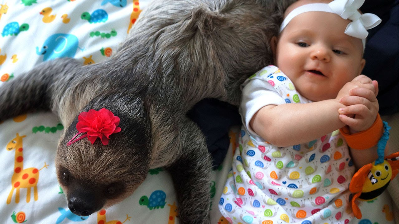 390cf32b411f4 Here's why human babies should NOT be best friends with baby sloths ...