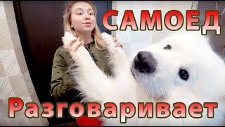 Говорящая собака. Самоед Шторм.