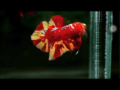 Cupang Mahal Nemo Leopard Youtube