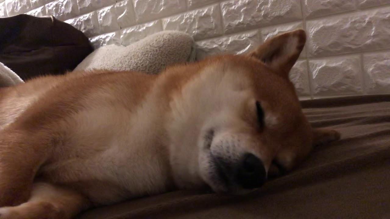 ゆき ちゃん 柴犬