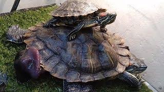 Жесть! Половой орган краснухой черепахи.