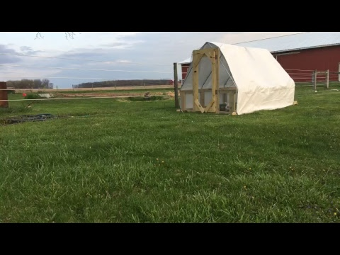 feed and move chickens