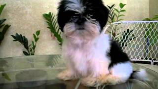 Shih Tzu Puppy (black & White)
