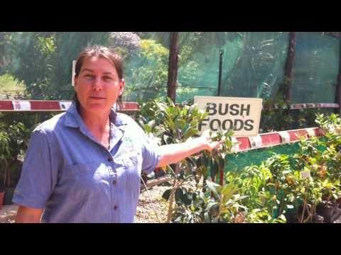 Shop Tour Daleys Fruit Tree Nursery Kyogle NSW Australia DaleysFruit.au<a href='/yt-w/pe1uYZVgGjE/shop-tour-daleys-fruit-tree-nursery-kyogle-nsw-australia-daleysfruitau.html' target='_blank' title='Play' onclick='reloadPage();'>   <span class='button' style='color: #fff'> Watch Video</a></span>