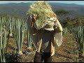 Cultivo de Hongos - Paso a Paso - [Parte 1] - YouTube