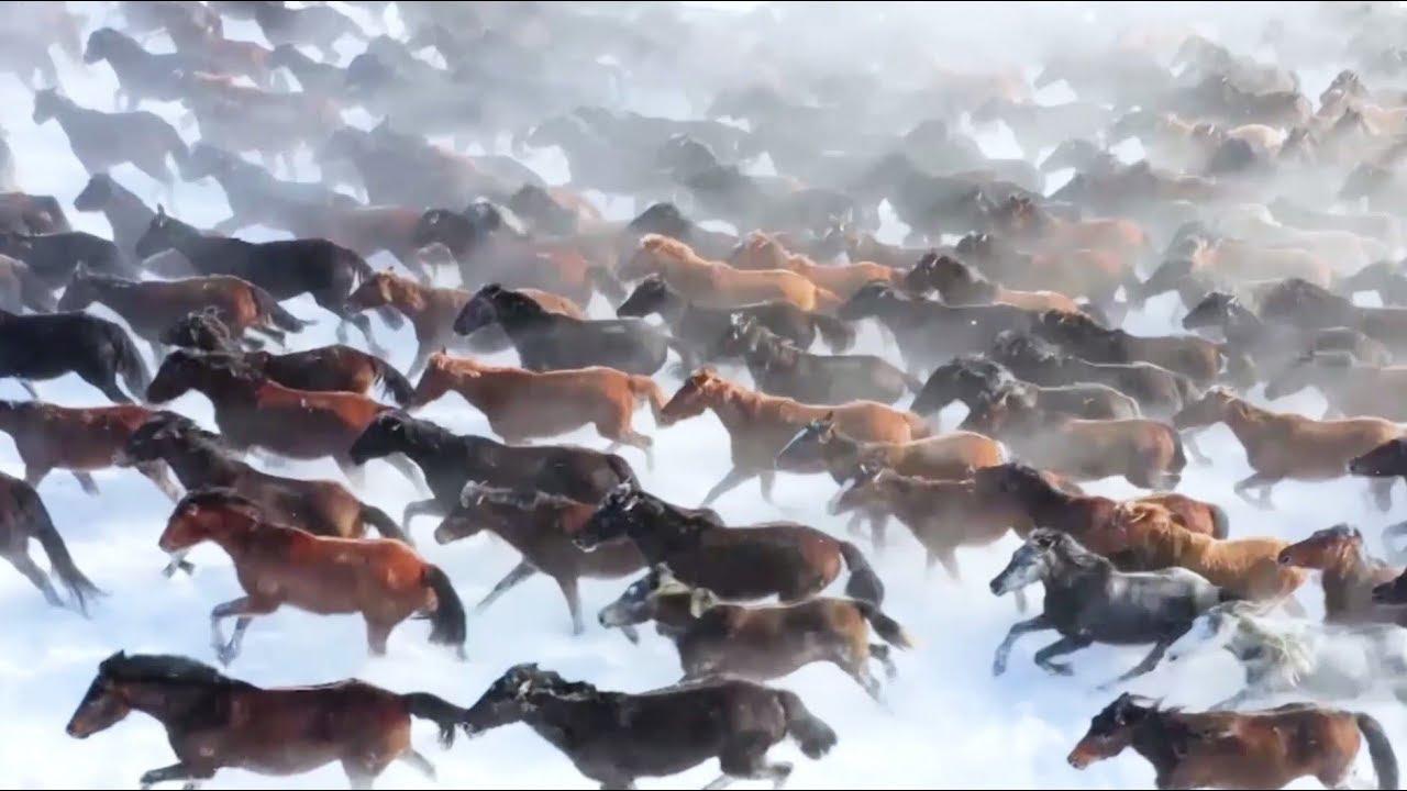 Туристы приезжают на северо-запад Китая, чтобы увидеть табун бегущих лошадей
