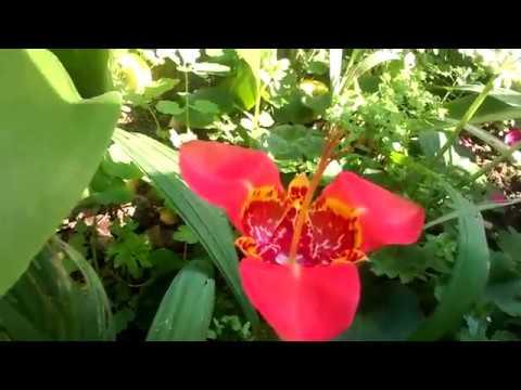 Двойной праздник в саду зацвела тигридия, эукомис