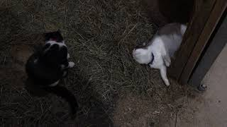 Kittens Play Fight 3 (1/4/2019)