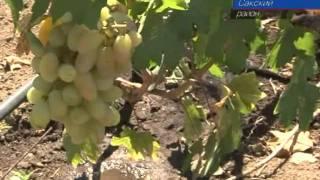 День виноградной лозы отметили 4 августа