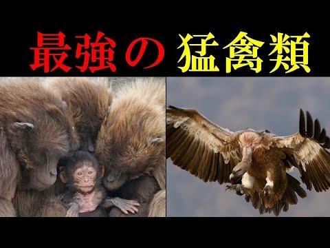 衝撃】最強の猛禽類7選 人間も危険!! - YouTube