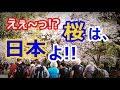 【海外の反応】衝撃!韓国と中国が桜の起源をまたも主張!世界が仰天!外国人「日本に嫉妬か?」【すごい日本】