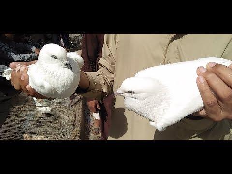 Kabootar Market Lalukhait Gola , Qabli , Patti Wala Racer Pigeon in  Urdu/Hindi
