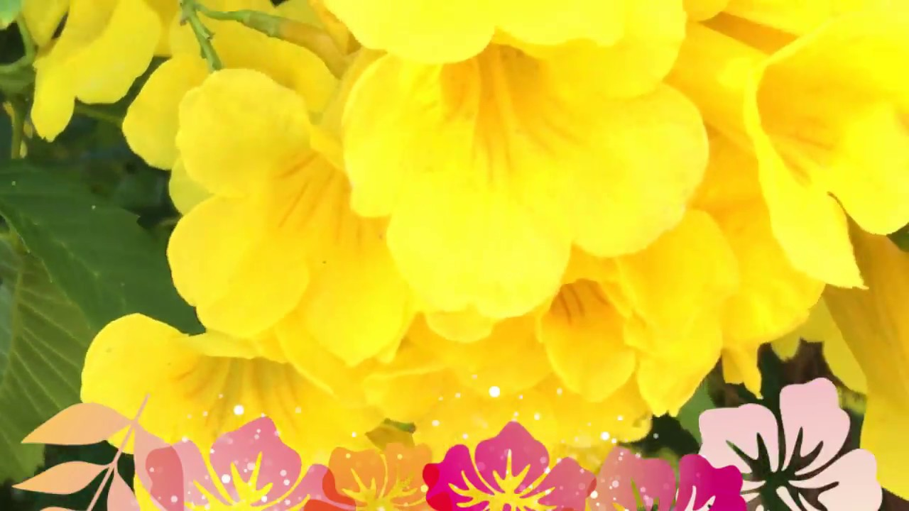 Most beautiful yellow bell trumpet flowers youtube most beautiful yellow bell trumpet flowers mightylinksfo