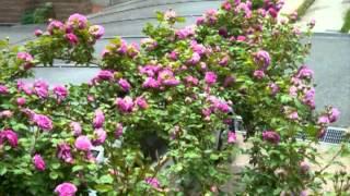 Repeat youtube video 2011年 我が家の薔薇たちvol.1