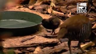 Guam Rail (Extinct in Wild) Chicks - Cincinnati Zoo