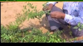 अनार की पौध तैयार करने के लिए इन बातों का रखें ध्यान