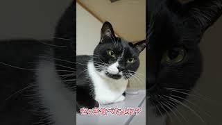 ごはんを食べたばかりなのに食べてないとウソをつくぽっちゃり猫www【おしゃべりする猫】【#Shorts】