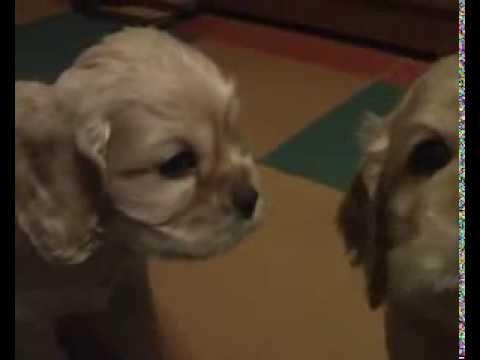 Продам шикарных щенков американского кокер спаниеля