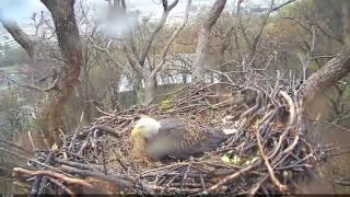 EAGLE CAM 2017- TORNADO HITS EAGLE NEST - ECC, MPDC - Washington, DC thumbnail