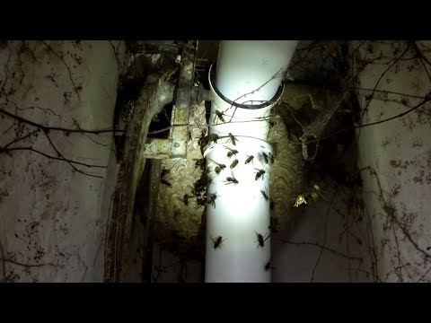 Un nid de frelons asiatiques très bien caché !!!!! Et une très grosse attaque