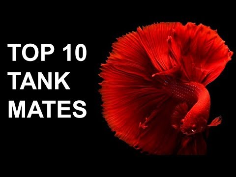 Betta Fish Tank Mates | Top 10 Most Popular Tank Mates For Bettas