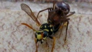 Spider Vs. Wasp - Incredible Fight!