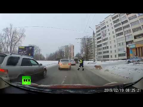 Russian cop stops traffic to help injured dog cross the street