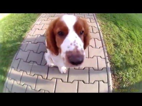 Dog games Psí hry Welsh Springer Spaniel