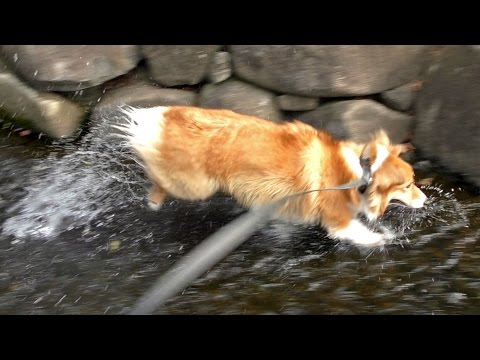 Roku loves water / 水遊びが大好きなロクさん 20160903 welsh corgi dog コーギー 犬