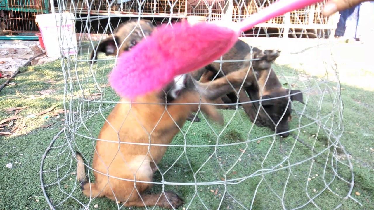 Video gửi a khách miền Nam. 3 em chó Malinois cực kì tinh nghịch để làm giống