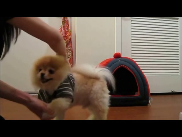 Best of Boo the Dog Travel Video