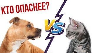 Кто опаснее – кот или стаффордширский терьер? Стаффорд против кота.