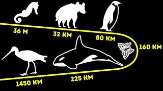 Сколько животные могут пройти за день (некоторые проходят 800 км)