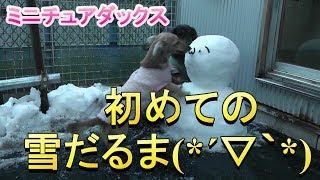 【ミニチュアダックス】初めての雪だるま(*´▽`*)