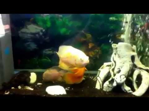 Fish tank question what temp do u keep oscars at youtube for Fish tank riddle