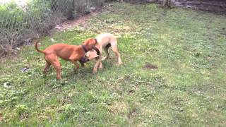 Jeep/Redboy puppies for sale due 11/2015