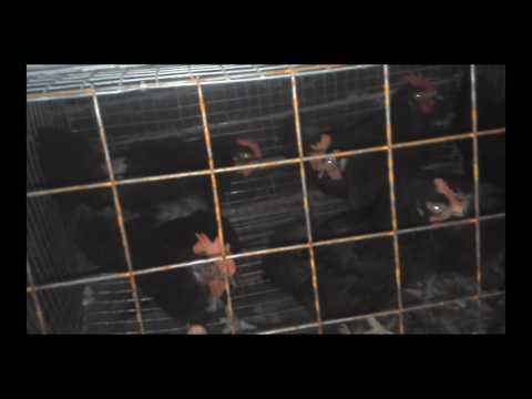 Клетки для кур! Начинаю переводить в новые клетки! Cages for chickens! I translate into new cells!