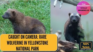 Rare wolverine in yellowstone national ...