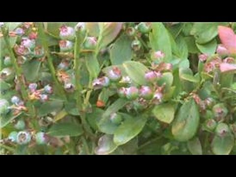 Gardening : How to Grow Blueberries