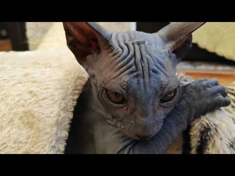 Cute sphynx kittens - cats playing so funny / DonSphynx /