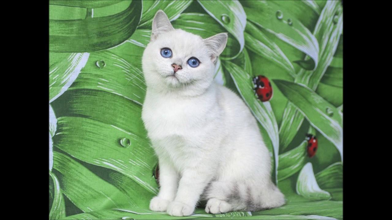 Британские котята играют. Купить британского котёнка. Питомник .