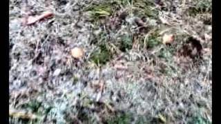 Как растут грибы маслята на поляне