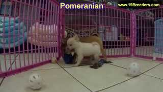 Pomeranian, Puppies, For, Sale, In, Allegheny, Pennsylvania, Pa, Bucks, Chester, County, Berks, Dela