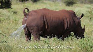 Endangered Rhino Marking Territory   Trending Wildlife Videos.
