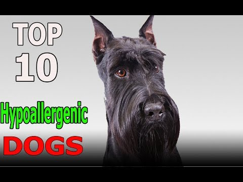 Top 10 Hypoallergenic Dog Breeds | Top 10 animals